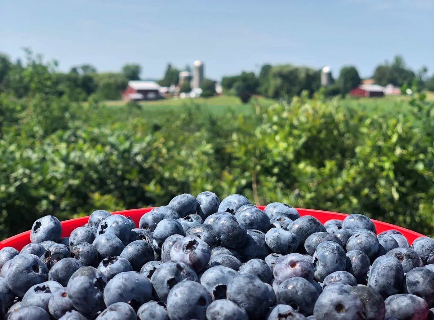 Blueberry Picking at Greig Farm in Red Hook NY