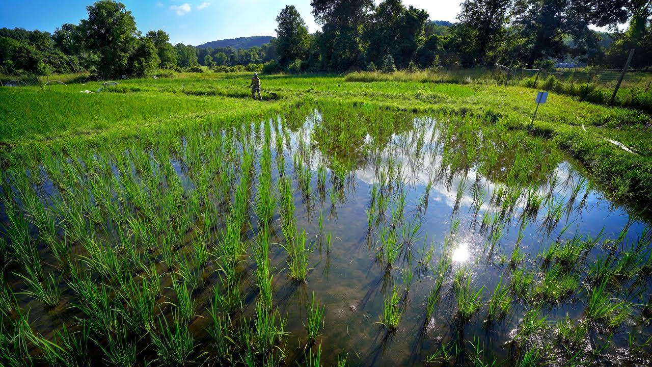 Nfamara Badjie working in his rice farm (photo by John Munson, courtesy of Cornell University)