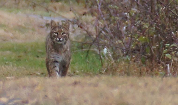 Bobcat at Peach Hill Park
