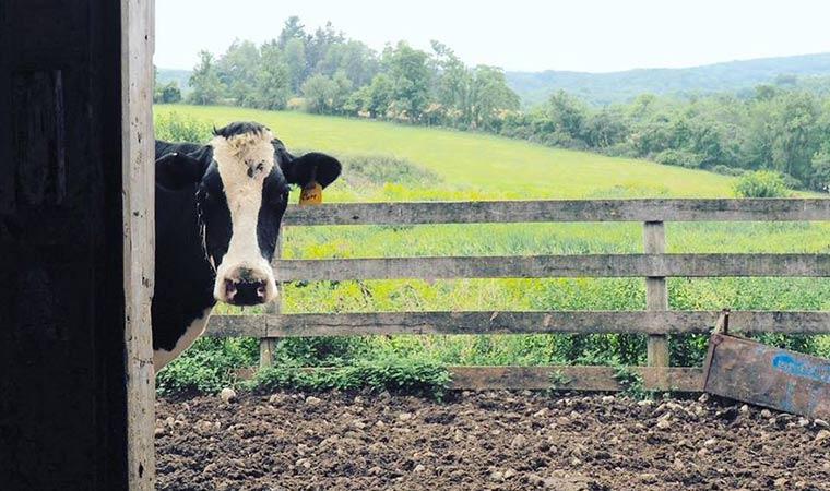 Ronnybrook Farm Dairy Cow