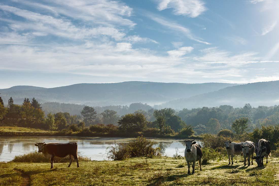 Cattle at Artemis Farm